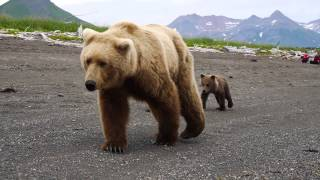 Reactions to CLOSE BROWN BEAR encounter