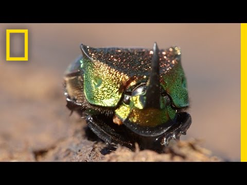 Meet a Beautiful Beetle That Loves to Eat Poop   National Geographic