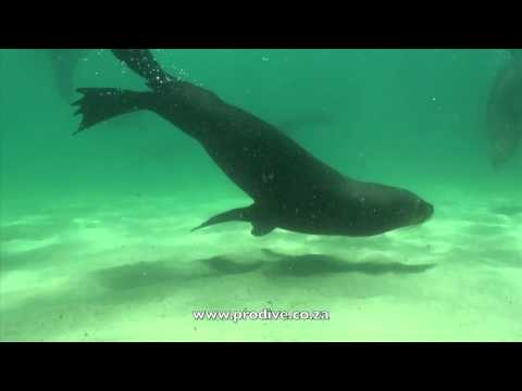 ProDive Seal Dive in Plettenberg Bay South Africa