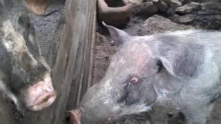 Porco e porca dando uma namoradinha na cerca enquanto os leitões mamam em pé.