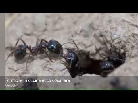 Come combattere le formiche del legno tutto per casa - Come debellare le formiche in casa ...