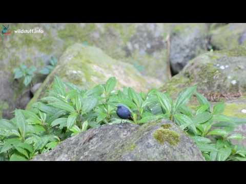 鉛色水鶇 - YouTube