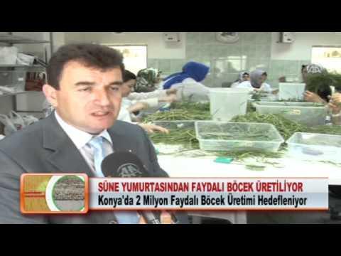 SÜNE YUMURTASINDAN FAYDALI BÖCEK ÜRETİLİYOR 09.05.2012