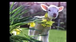 Cem ovelhas   Samuel de Camargo
