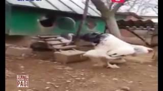 [Sudah Tau ini Ayam Apa?] Ayam Berukuran Raksasa Jadi Viral di Media Sosial - BIP 23/03