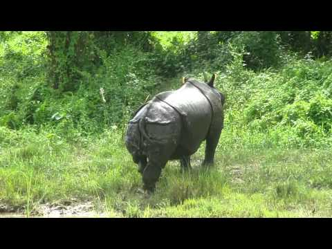 rhino coming out of dhungare river chitwan nepal MVI_3560