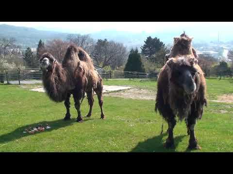 Velbloudice Kara a Kuma výročí 15 let od příchody k nám do zoo