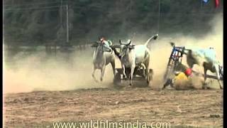 Bullock cart race goes wrong: terrible crash drops the bulls and rider!
