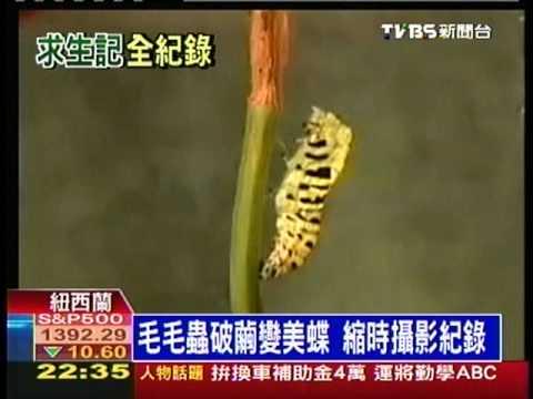 十點不一樣 - ''縮時攝影 毛毛蟲變蝴蝶'' (2012-03-22, TVBS新聞台) - YouTube