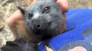 Filhote de morcego demonstra alegria pura ao receber carinho! Que fofura.