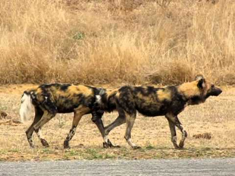 MalaMala – Wild Dogs mating