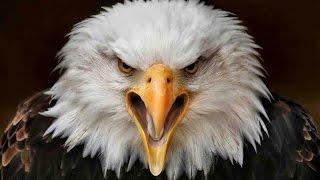 eagle sound effects - efek suara elang