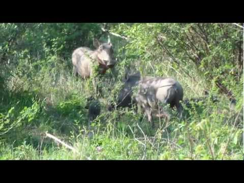 Baby Warthog and Family.mp4