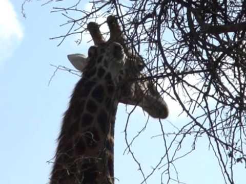 Żyrafa w Parku Krugera