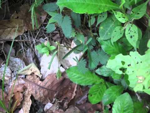 Nicaraguan 'Dormilona' (Sleeper)