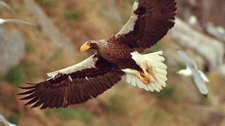 World's Largest Eagle Attacks Kittiwake Birds - Blue Planet - BBC Earth