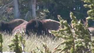 Eric Stanosheck Montana Bison Hunt - Crow Indian Reservation August 2008
