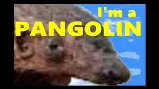 I'm a Pangolin (Song)