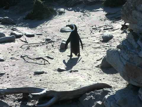 pinguin at Bettys bay South Africa dec 2010.avi