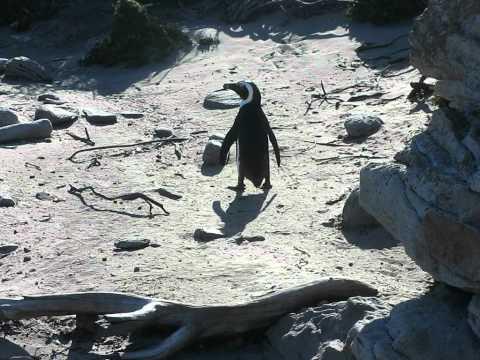 pinguin at Bettys bay South Africa dec 2010.avi