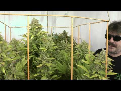 6 Kinds Of Budding Cannabis