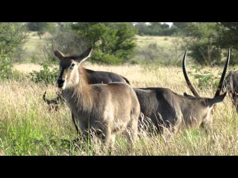 Zebra, waterbuck and wildebeast South Africa 2012 617.MOV