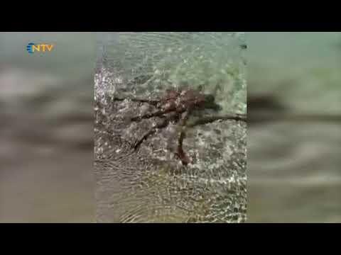 NTV | Ahtapot görüntüsünün çekilmesine sinirlendi!