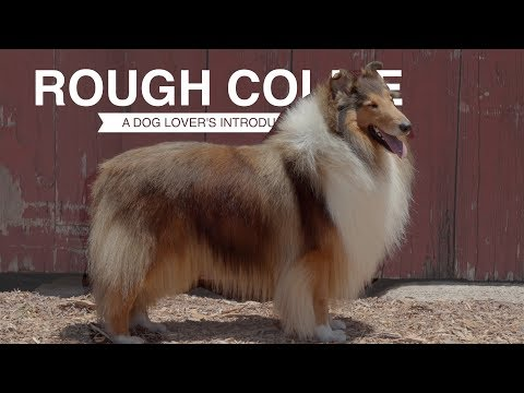ROUGH COLLIE: A DOG LOVER'S INTRODUCTION