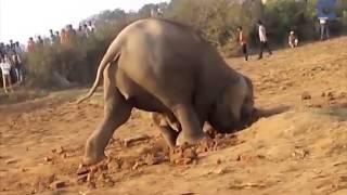 VIDEO: Mamá elefante desesperada por rescatar a su cría.