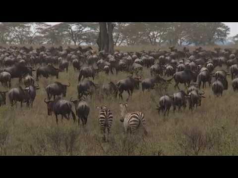 Safari i Tanzania, Serengeti - Jambo Tours