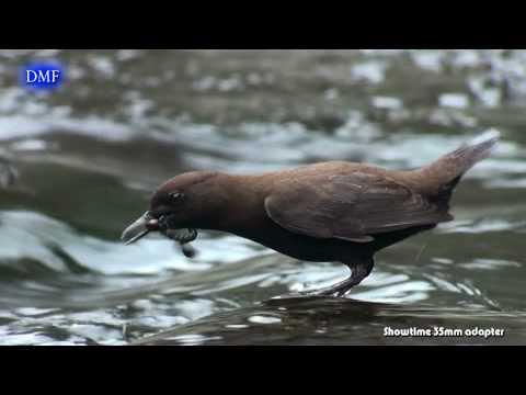 [台灣野鳥] 河烏