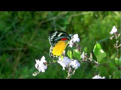 Himalayan Butterfly – Peace Pagoda