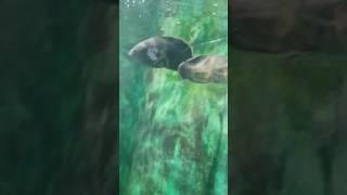 peixes raros do Amazonas