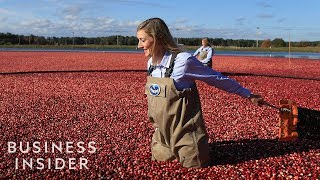 How Ocean Spray Harvests 220 Billion Cranberries A Year width=