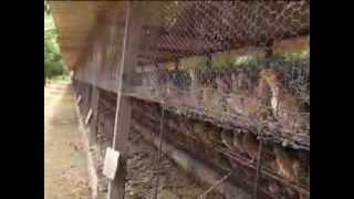 Ovos de codorna - Programa Tela Rural