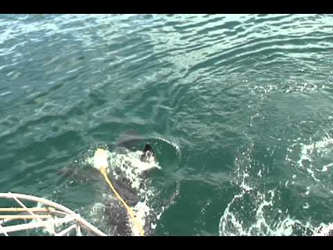 South Africa Great Whites.avi