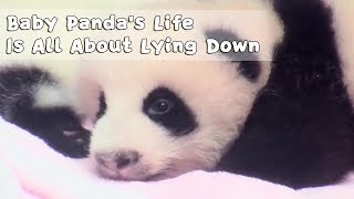 Baby Panda's Life Is All About Lying Down And Just Chilling | iPanda