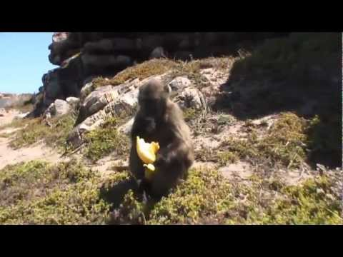 South Africa. Part4. Baboon