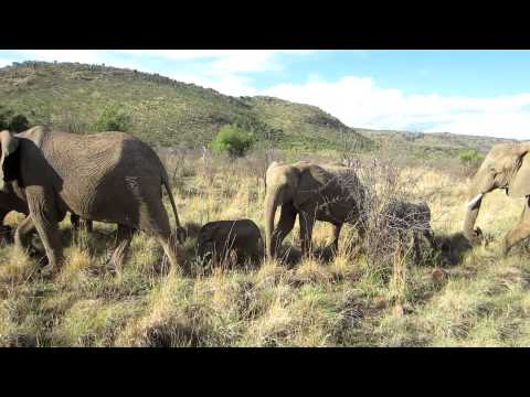 Elephant Herd Strolling By – Pilanesberg National Park – South Africa