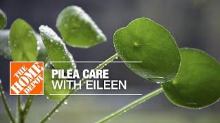 A pilea plant on a table.