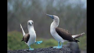 Mavi Ayaklı Bubi (Sümsük) Kuşu