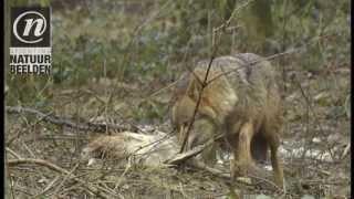 Wolf met een ree als prooi