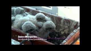 Cria de falcão a alimentar-se de lagarto