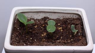 Starflower Sprouting Time Lapse