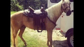 Gaited Palomino Tennessee Walker Trail Horse For Sale Video 1