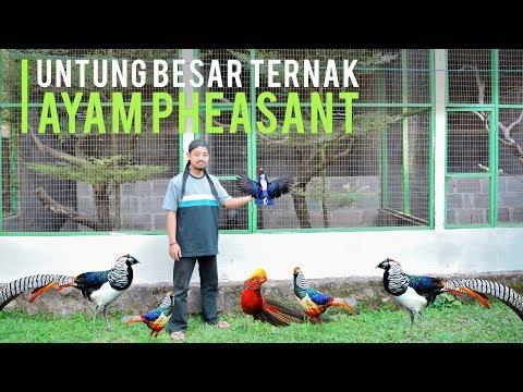 Download Video Meraup Untung Ternak Ayam Pheasant, Ayam Hias Mahal Berbulu Eksotis