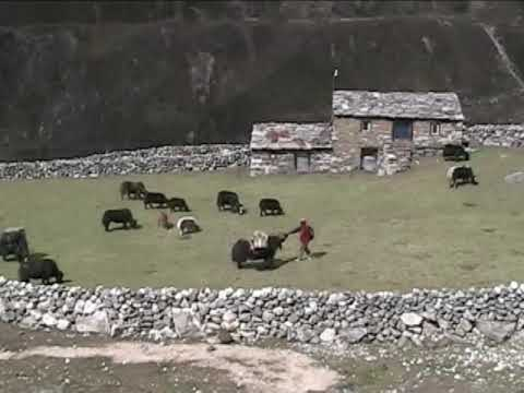 Yaks Moving Down Valley – Thare, Nepal