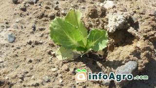 Cultivo de la lechuga. 2ª parte