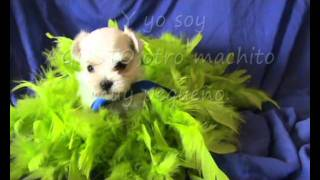 BICHON MALTES   Doña Rosita Puppies
