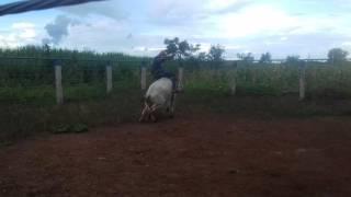 Espancando boi(2)